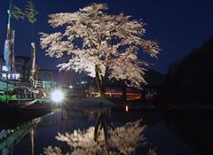 お小夜の1本桜ライトアップ